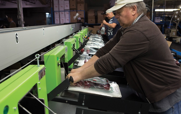 After the pre-determined numbers of apples are automatically deposited in plastic bags, workers at the Binkley Apples production facility in Thornbury quickly apply a tie closure to each bag and place into corrugated cases.