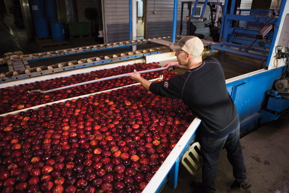Performing quality assurance, a Binkley Apples employee removes apples from within the wash point to check for consistent pressure brix and internal quality to ensure the proper sugar content, crispness and flavor.