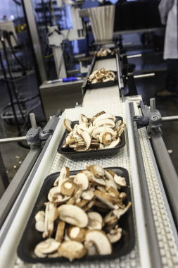 After being dispensed from the WeighPack PrimoCombi buckets, mushrooms are placed onto foam trays manufactured by CKF Inc.