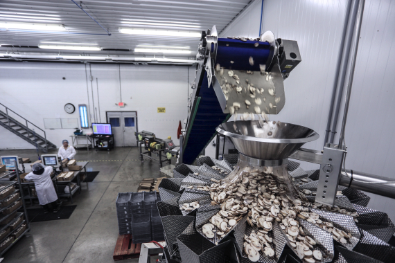 Sliced mushrooms move up an incline infeed conveyor (top) and down into a 14-head PrimoCombi weigher outfitted with 2.5-liter buckets—both from WeighPack Systems.