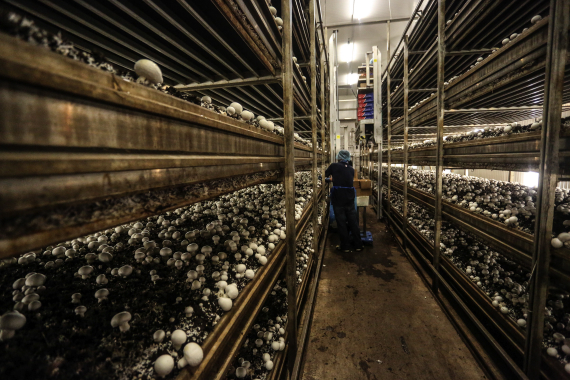 Producing about 41,000 kgs of mushrooms every week, a Piccioni Bros. worker harvests white-button mushrooms in one of the farm's 18 temperature-controlled growing rooms.