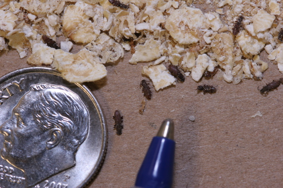 Relative size of the Sawtooth Grain Beetle.
