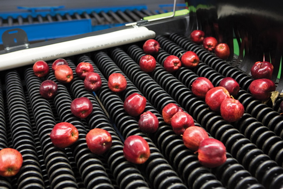 Apples move along a sorting chain on a Greefa GeoSort grading machine. Binkley Apples uses rigorous automatic and manual quality control measures to ensure consistent grading and sizes.